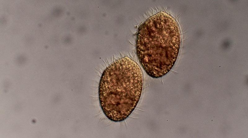 Das räuberische Wimperntierchen Tetrahymena thermophila ernährt sich von Bakterien. © L. Becks