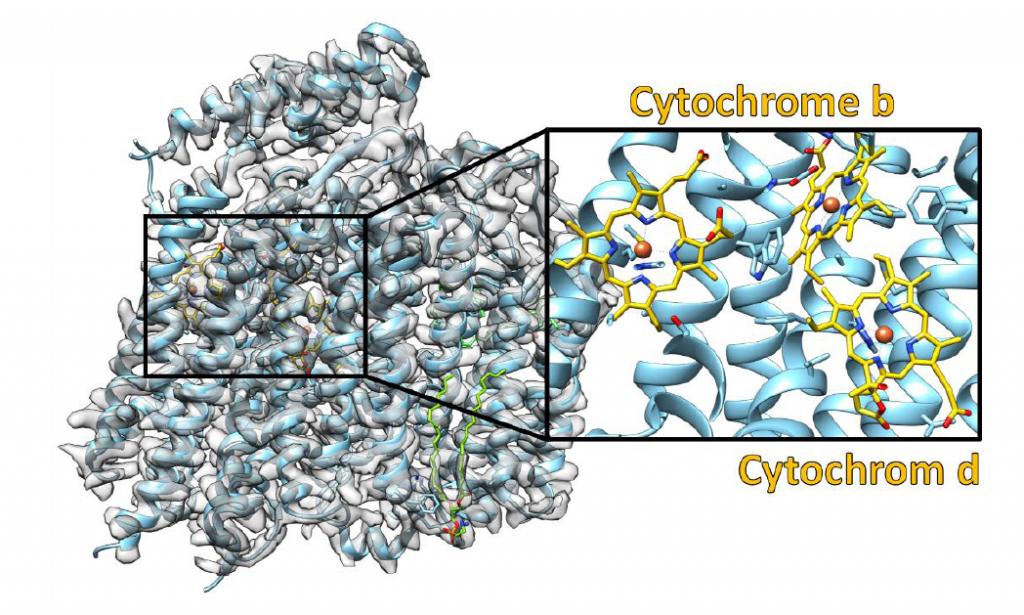 Struktur der Cytochrom-bd-Oxidase. Die experimentellen Daten sind in grau dargestellt und das daraus abgeleitete molekulare Modell farbig. Die Ausschnittvergrößerung zeigt den Bereich, in dem die drei Cytochrome gebunden sind.